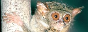 mongabay tarsier day image